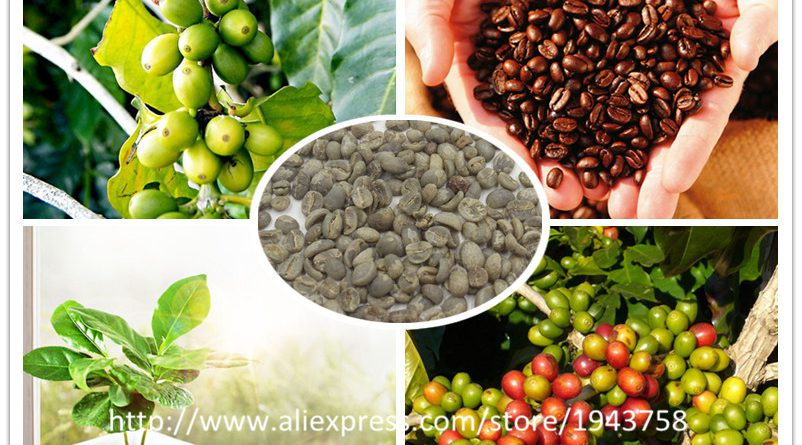 A Pack 20 Pcs Coffee Bean Seeds Balcony Bonsai Tree Plant Seed Coffee Cherry Seeds